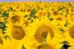 SunFlowers-file8581269013710