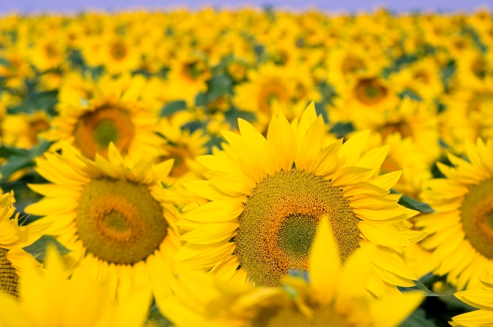 SunFlowers-file8581269013710